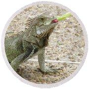 Snacking Iguana On A Concrete Walk Way Round Beach Towel