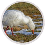 Snow Goose Feeding In A Field Round Beach Towel