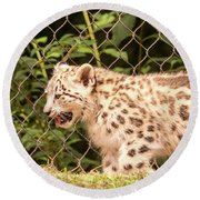 Snow Leopard Cub Round Beach Towel