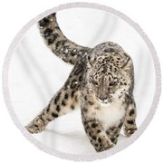 Snow Leopard On The Prowl Viii Round Beach Towel