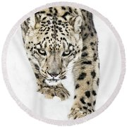 Snow Leopard On The Prowl X Round Beach Towel