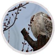 Snowy Owl Preening Round Beach Towel