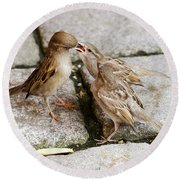 Sparrow Feeding Fledgelings Round Beach Towel
