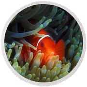 Spinecheek Anemonefish, Great Barrier Reef Round Beach Towel