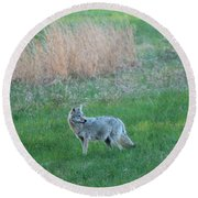 Spring Coyote  Round Beach Towel