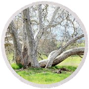 Spring Sycamore Tree Round Beach Towel