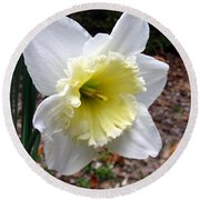 Spring's First Daffodil 1 Round Beach Towel