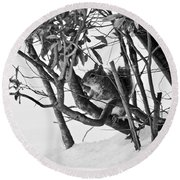 Squirrel In Low Branches Round Beach Towel