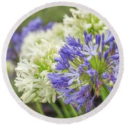 Striking Blue And White Agapanthus Flowers Round Beach Towel