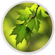 Sunlit Maple Leaves In Spring Round Beach Towel
