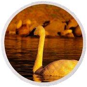 Swan Near Sundown Round Beach Towel