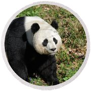 Sweet Chinese Panda Bear Sitting Down In Grass Round Beach Towel