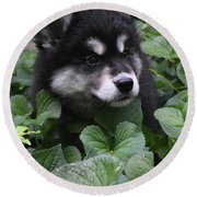 Sweet Markings On The Face Of An Alusky Puppy Dog Round Beach Towel