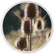Teasle In Morning Light Round Beach Towel
