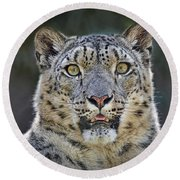 The Intense Stare Of A Snow Leopard Round Beach Towel