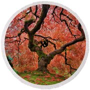 The Old Japanese Maple Tree In Autumn Round Beach Towel