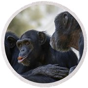 Three Chimpanzees Socializing  Round Beach Towel