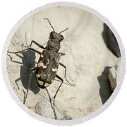 Tiger Beetle Looking For Prey On A Stone Round Beach Towel