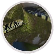 Tiger In The Tree.. Round Beach Towel