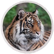 Sumatran Tigress Portrait  Round Beach Towel