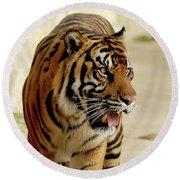 Tiger Pacing Round Beach Towel