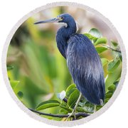 Tri-colored Heron On A Branch  Round Beach Towel