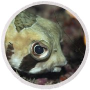 Tropical Fish Porcupinefish  Round Beach Towel