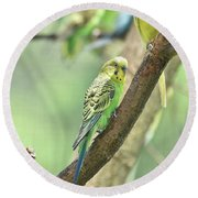 Two Beautiful Yellow Parakeets In A Tree Round Beach Towel
