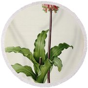 Veltheimia Capensis Round Beach Towel by Pierre Joseph Redoute