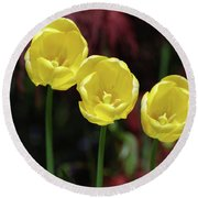Very Blooming And Flowering Trio Of Yellow Tulips Round Beach Towel