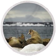 Walruses With Giant Tusks At Arctic Haul-out Round Beach Towel