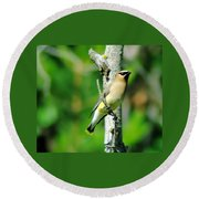 Wax Wing In A Small Branch  Round Beach Towel
