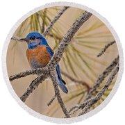 Western Bluebird Male In A Pine Tree.  Round Beach Towel