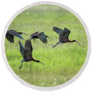 White-faced Ibis Rising, No. 2 Round Beach Towel