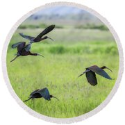 White-faced Ibis Rising, No. 3 Round Beach Towel