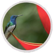White-necked Jacobin Round Beach Towel