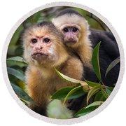 White-throated Capuchin Monkeys Cebus Round Beach Towel