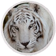 White Tiger Portrait Round Beach Towel