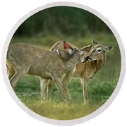 Whitetail Deer Share An Initmate Moment Texas Wildlife Round Beach Towel