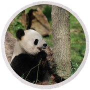 Wild Giant Panda Bear Eating Bamboo Shoots Round Beach Towel