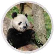 Wild Panda Bear Eating Bamboo Shoots While Leaning Against A Tre Round Beach Towel