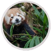 Wizened Red Panda Round Beach Towel