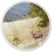 Yearling Mule Deer In The Pike National Forest Round Beach Towel