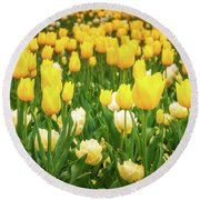 Yellow And White Tulips In Canberra In Spring Round Beach Towel