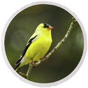 Yellow Finch Perching Round Beach Towel