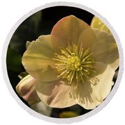 Yellow Helleborus Round Beach Towel