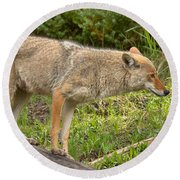 Yellowstone Coyote Scout Round Beach Towel