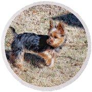 Yorkshire Terrier Dog Pose #9 Round Beach Towel