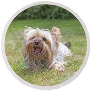 Yorkshire Terrier Is Smiling At The Camera Round Beach Towel