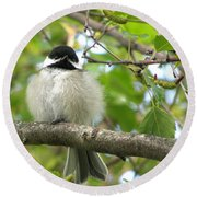 Young Black-capped Chickadee Round Beach Towel